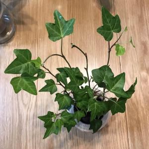 下決心剪掉所有有黑斑的葉子和莖,希望有所好轉。✂️🍂