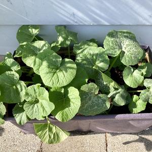 Pumpkin 'Mini Harvest'