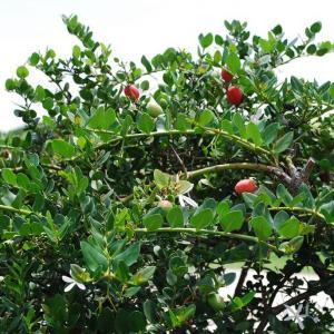 名称: #大花假虎刺               英文名称:Carissa macrocarpa  别名:大花假虎刺、美国樱桃、大花刺郎果 科: #夹竹桃科   属: #假虎刺属   它是一种饶有野趣、刚性的观赏植物,既可观叶,又可赏花,片片浑圆的革质叶片对生在枝条上,白色芬芳的大花点缀其中,秋天时成熟的果实挂满枝头,红艳可爱。