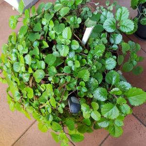 I Nuevo agregado un Planta del dinero en mi jardín
