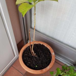 I Nuevo agregado un Hortensia en mi jardín