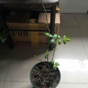 因为病虫害,把叶子剪光了,本来以为活不了了,幸好现在又发了好几个芽。
