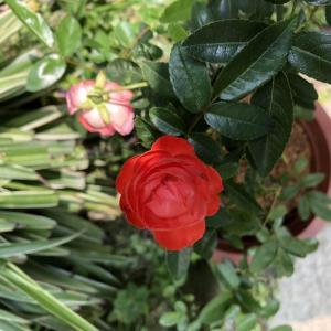 玫瑰-各品小玫瑰