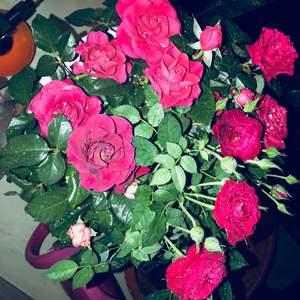 """我新添加了一棵""""红玫瑰2""""到我的""""花园"""""""