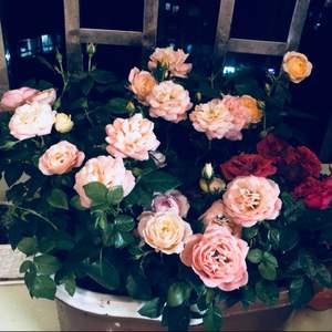 """我新添加了一棵""""拖把桶玫瑰""""到我的""""花园"""""""