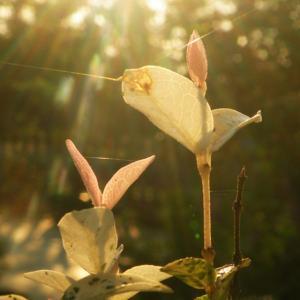 名称: #花叶络石               英文名称:Trachelospermum jasminoides 'Tricolor'  别名:花叶络石、初雪葛、斑叶络石 科: #夹竹桃科   属: #络石属   它的老叶近绿色或淡绿色,第一轮新叶粉红色,少数有2~3对粉红叶,第二至第三对为纯白色叶,在纯白叶与老绿叶间有数对斑状花叶,整株叶色丰富,构成的斑斓色彩群,极似盛开的一簇鲜花,极其艳丽多彩。