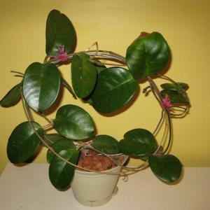 名称: #护耳草               英文名称:Hoya fungii  别名:护耳草、护耳草球兰、大奶汁藤、陵水球兰、冯氏球兰 科: #萝藦科   属: #球兰属   原产云南,广西,广东和海南的攀援灌木,是中国特有植物之一,可用扦插方式繁殖。在4~5月开白色小花,聚集成球状。柔弱的身姿却是一身的傲骨,纵情山水间,绽放出最质朴的纯真笑靥;散发出的阵阵幽香,更是有幽兰之生在深谷,讵以无人而不芳的品性。