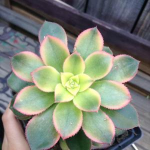 Aeonium Decorum variegata Kiwi