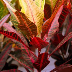 Croton Variegated