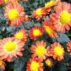 """我新添加了一棵""""太阳红菊花""""到我的""""花园"""""""
