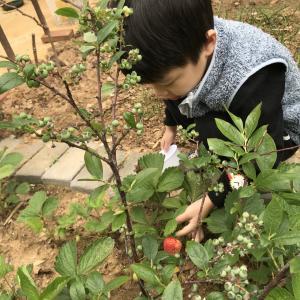 草莓熟了,生菜上桌了,香菜再过几天也可吃了,西红柿挂果了,蓝莓硕果满枝了。