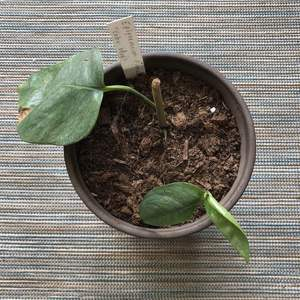 The little cutting has made a new leaf and the 'mother' is making two:)