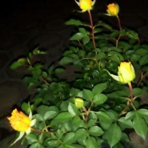 I Nuevo agregado un Rosa en mi jardín