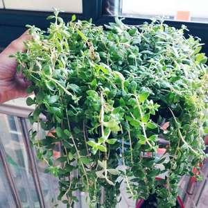 """我新添加了一棵""""垂盆草""""到我的""""花园"""""""
