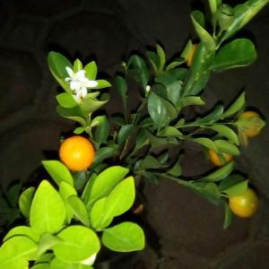 I Nuevo agregado un Mandarina Japonesa en mi jardín