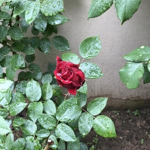 雨中的卡罗拉
