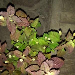 I Nuevo agregado un Stevia en mi jardín