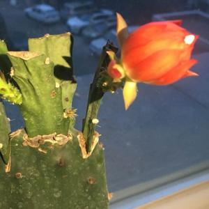 新花苞已经快开了!