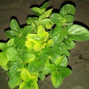 I Nuevo agregado un Hierbabuena en mi jardín