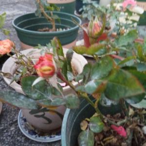 """我新添加了一棵""""月季芒果欧月""""到我的""""花园"""""""