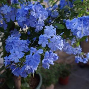 夏日盛开的蓝雪花