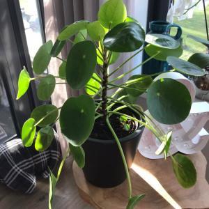 Pilea Peperomioides (Pannenkoekplant)