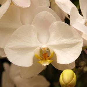 Aphrodite Orchid