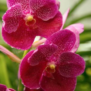 Monte Carlo Orchid