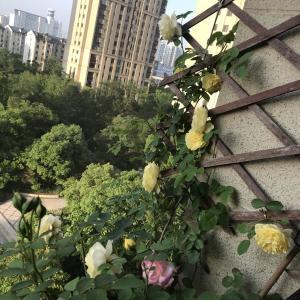 月季--黄色庆典、粉色龙沙