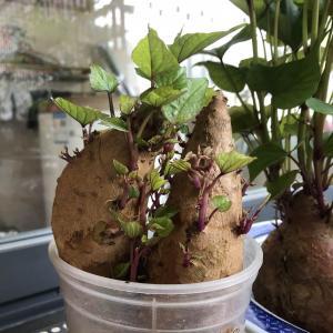长得老好了,很快就可以炒红薯叶吃了!