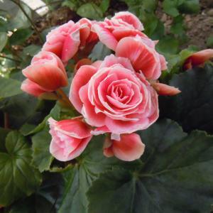 名称: #丽格海棠               英文名称:Begonia elatior  别名:玫瑰海棠、玫瑰海棠、茶花海棠、格丽秋海棠 科: #秋海棠科   属: #秋海棠属   多年生草本,具有肉质根茎且根系细弱的球根花卉,是几种球根秋海棠的杂交种。其优雅秀气的花朵宛若一朵朵绽放在冬季的迷你玫瑰,故又名冬花秋海棠或丽格海棠