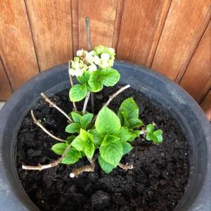 I Nuevo agregado un Hortensia blanca en mi jardín