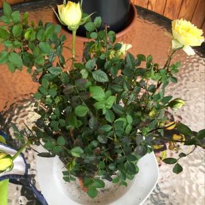 I Nuevo agregado un Rosal mini en mi jardín