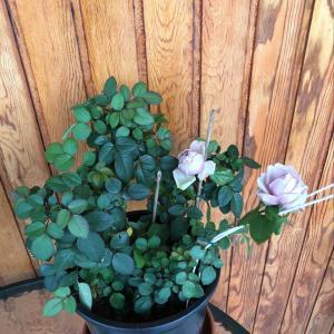I Nuevo agregado un Rosal en mi jardín