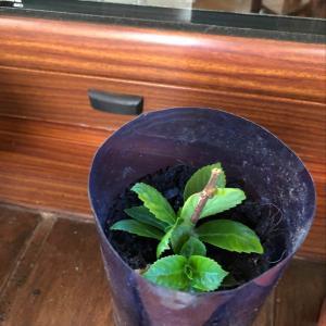 I Nuevo agregado un Hortensia azul en mi jardín