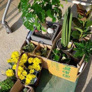 """제가 새로운 식물 """"녹보수""""한 그루를 나의 """"화원""""에 옴겼어요."""