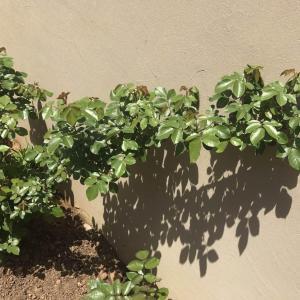 去年在后阳台养,状态不好,挪后院地栽,长势不错👍