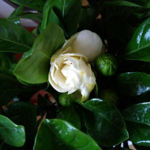 买回来已开的第一朵,太喜欢闻栀子花的香味啦!