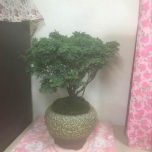 """我新添加了一棵""""日本姬檜木""""到我的""""花園""""。"""