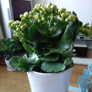 新增一盆长寿花,这次买了白色的