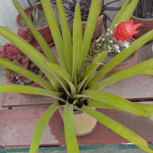 I Nuevo agregado un Bromelia en mi jardín