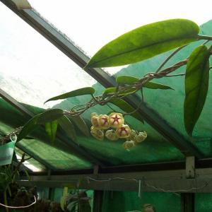 名称: #大花球兰               英文名称:Hoya archboldiana  别名:大花球兰、大花球兰 科: #萝藦科   属: #球兰属   原产巴布亚新几内亚的攀援灌木,可用扦插方式繁殖。在夏秋开出白色,粉红色或红色的花,还带着幽幽的花香。风铃状的小花扎堆在一起好似一个个别致的风铃绣球,悬挂在身材纤细婀娜的枝叶间,静静等待每一阵风的呼唤,迸发出全部舞蹈的热情与活力。