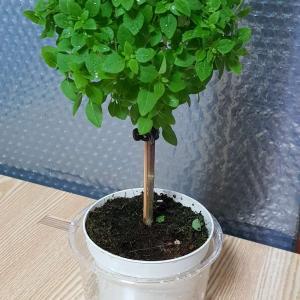 """제가 새로운 식물 """"바질트리 뽀솜이""""한 그루를 나의 """"화원""""에 옴겼어요."""