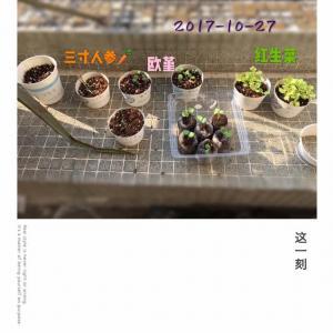 """我新添加了一棵""""三寸人参&欧堇&红生菜""""到我的""""花园"""""""