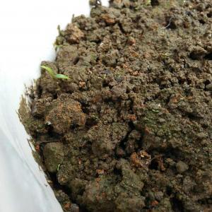 这个芽是什么。。今天突然长出来的 这如果是香菜的话那其他的又是什么。。。