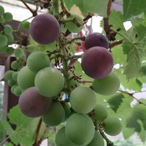 """我新添加了一棵""""葡萄""""到我的""""花园"""""""