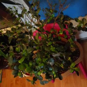 """我新添加了一棵""""榕树盆景""""到我的""""花园"""""""