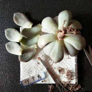 拟石莲属  橙梦露