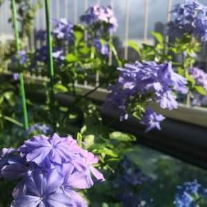 蓝雪一直奔放中。喜水,喜肥,给点阳光就灿烂!勤花,抗病虫,花期长,高颜值。优点简直一箩筐!