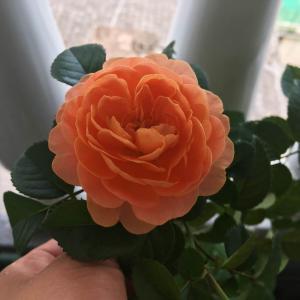 正宗的橙色